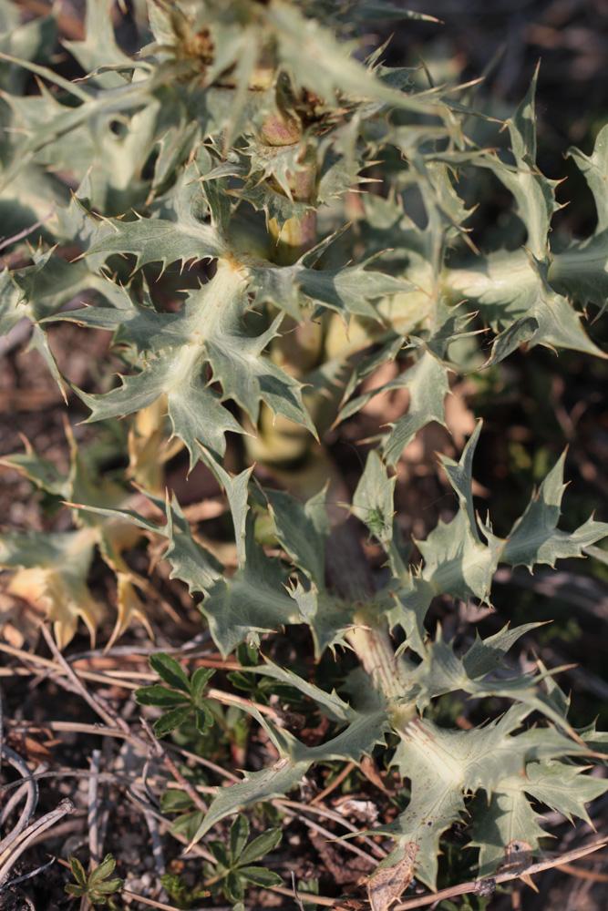 Inula montana et X ? 2019_015