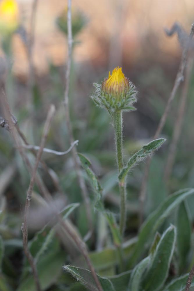 Inula montana et X ? 210