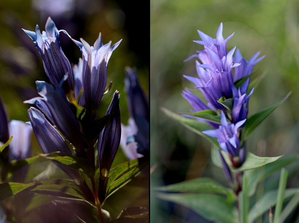 le plein de plantes en Vanoise fin août 22_asc10