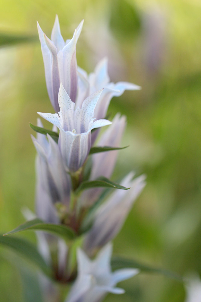le plein de plantes en Vanoise fin août 23_asc10
