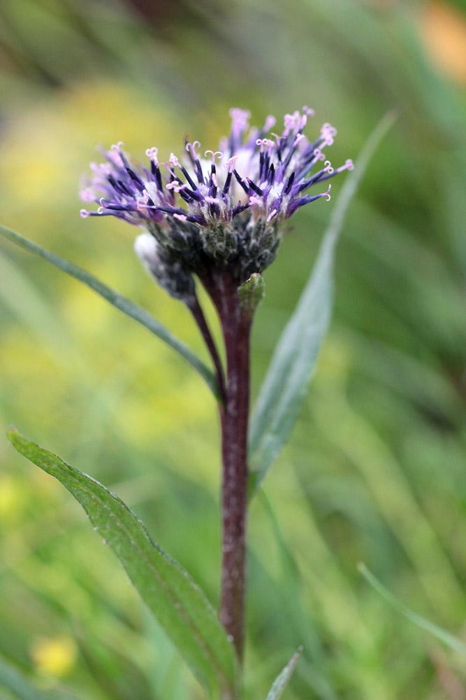 le plein de plantes en Vanoise fin août 24_sau10