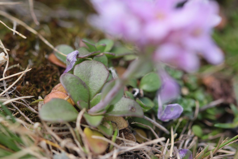 Carex, Noccaea Noccae15