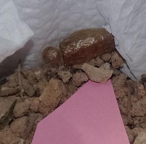 L'ammophile des sables: l'œuf! 20190516
