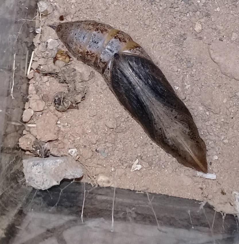 [Hippotion celerio] Chenille de Laghouat, un sphinx? Evolut10