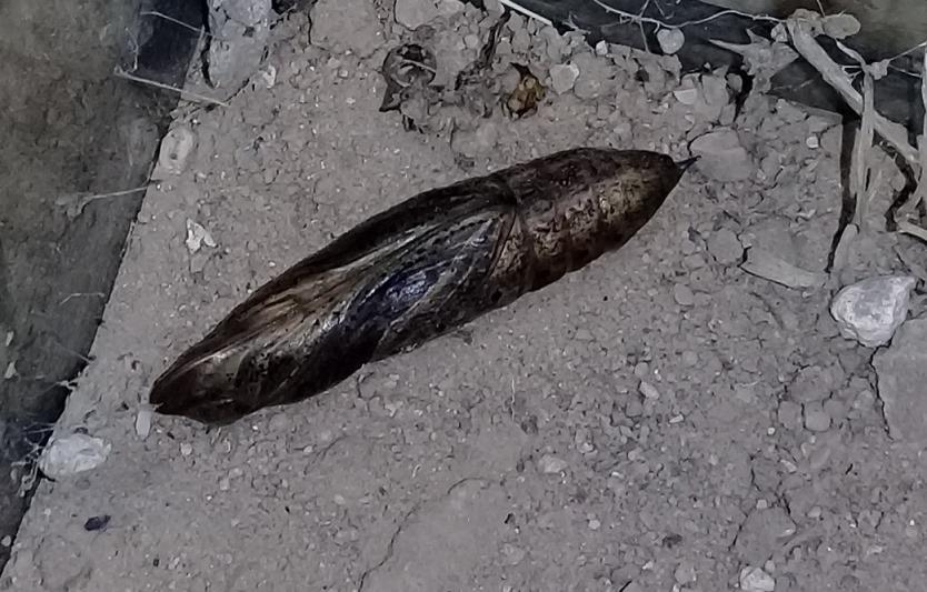 [Hippotion celerio] Chenille de Laghouat, un sphinx? Le_01-10