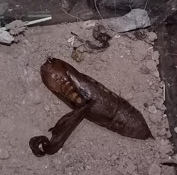 [Hippotion celerio] Chenille de Laghouat, un sphinx? Le_02-10