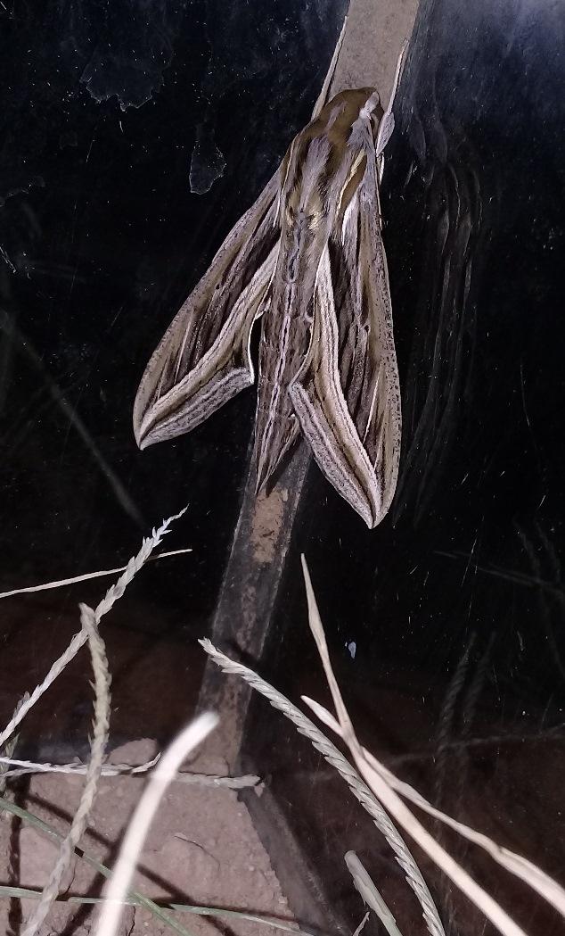 [Hippotion celerio] Chenille de Laghouat, un sphinx? Le_02-11