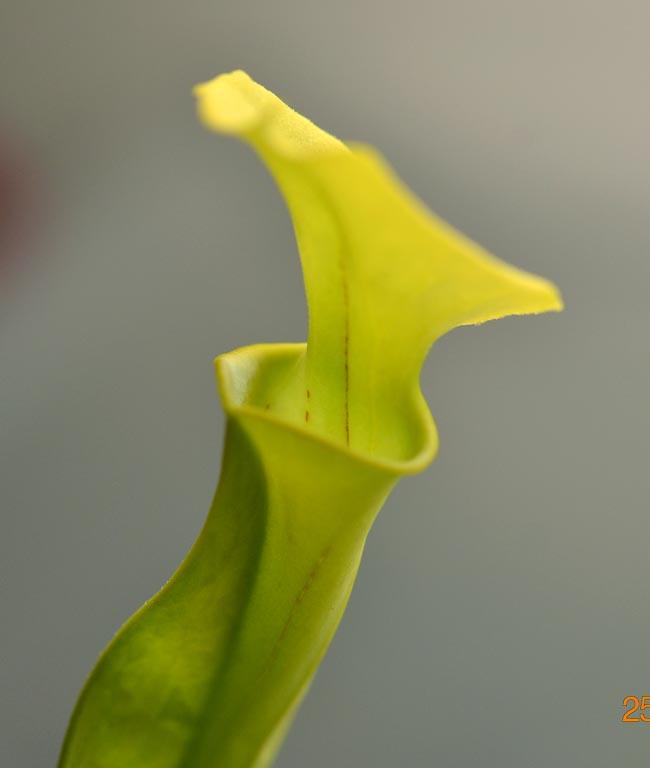 pinguicula primuliflora : repos ou pas 25_spe11