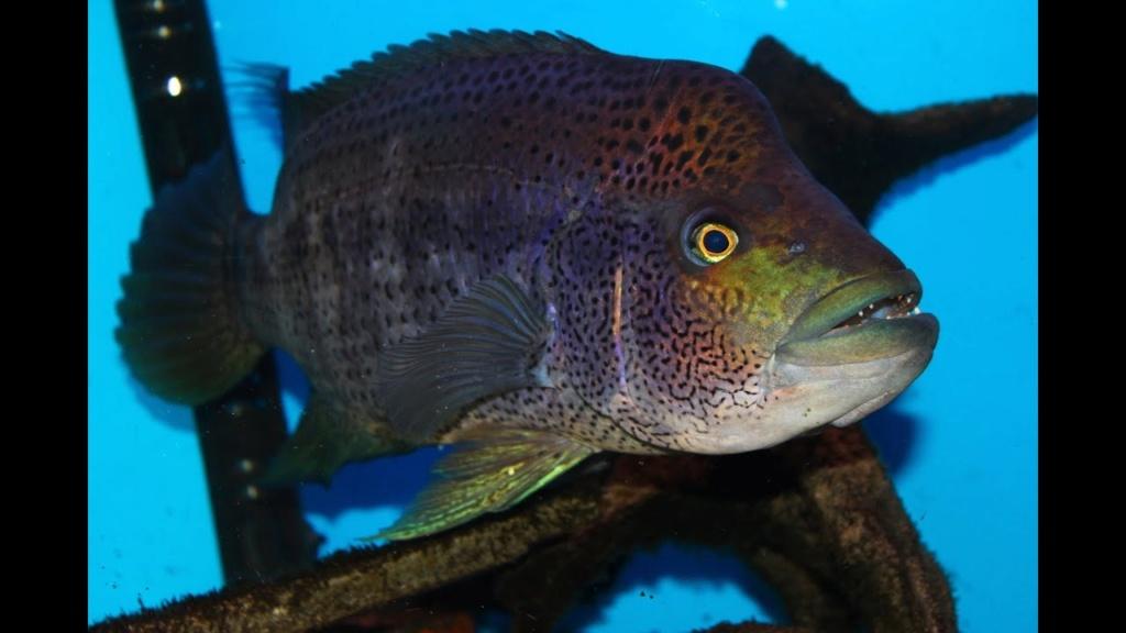 fishroom de 3000L focus sur les habitants Maxres10