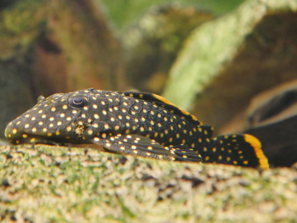 Recueil de photo aquariophiles de qualités P1000614