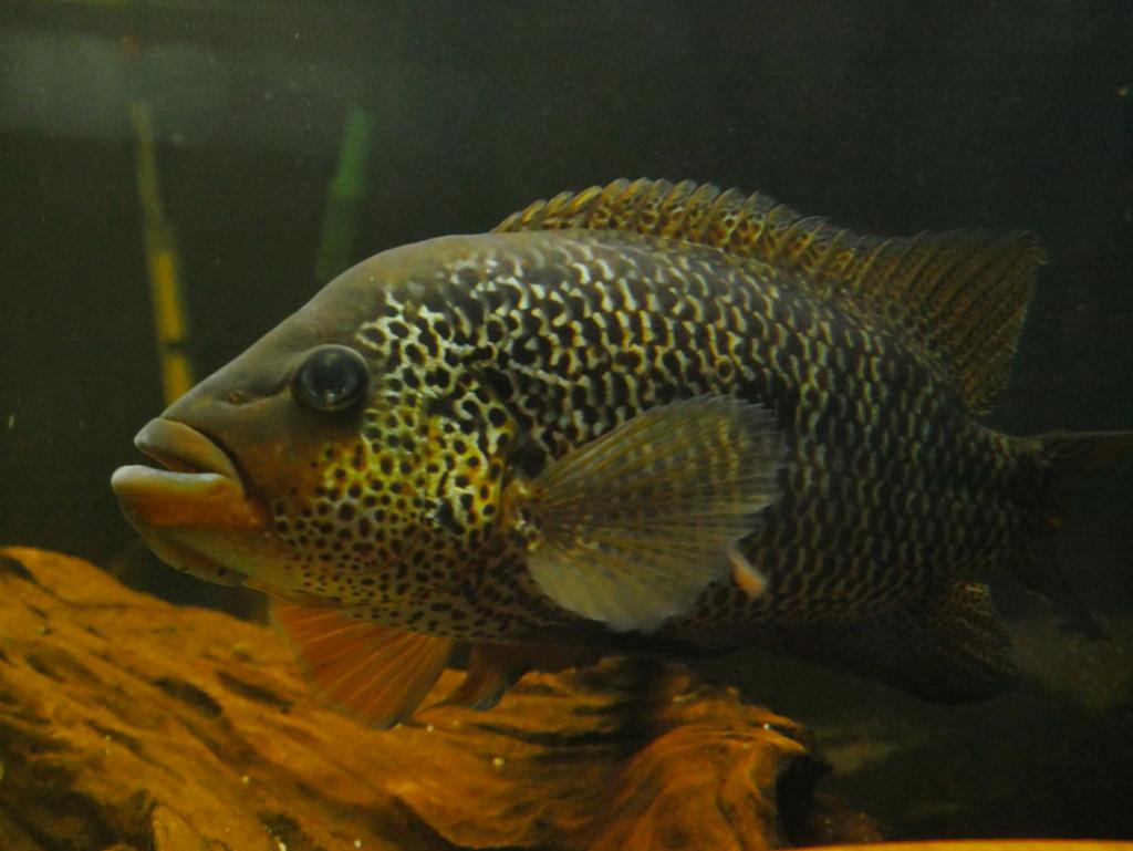 Recueil de photo aquariophiles de qualités P1010028