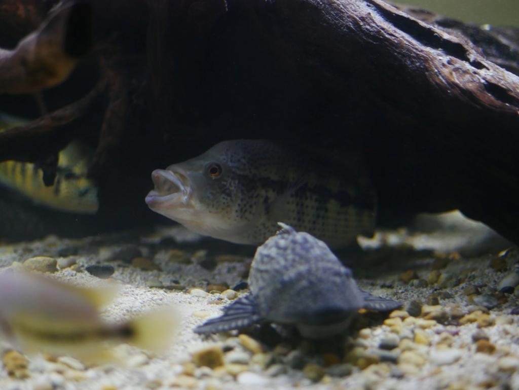 fishroom de 3000L focus sur les habitants P1020910
