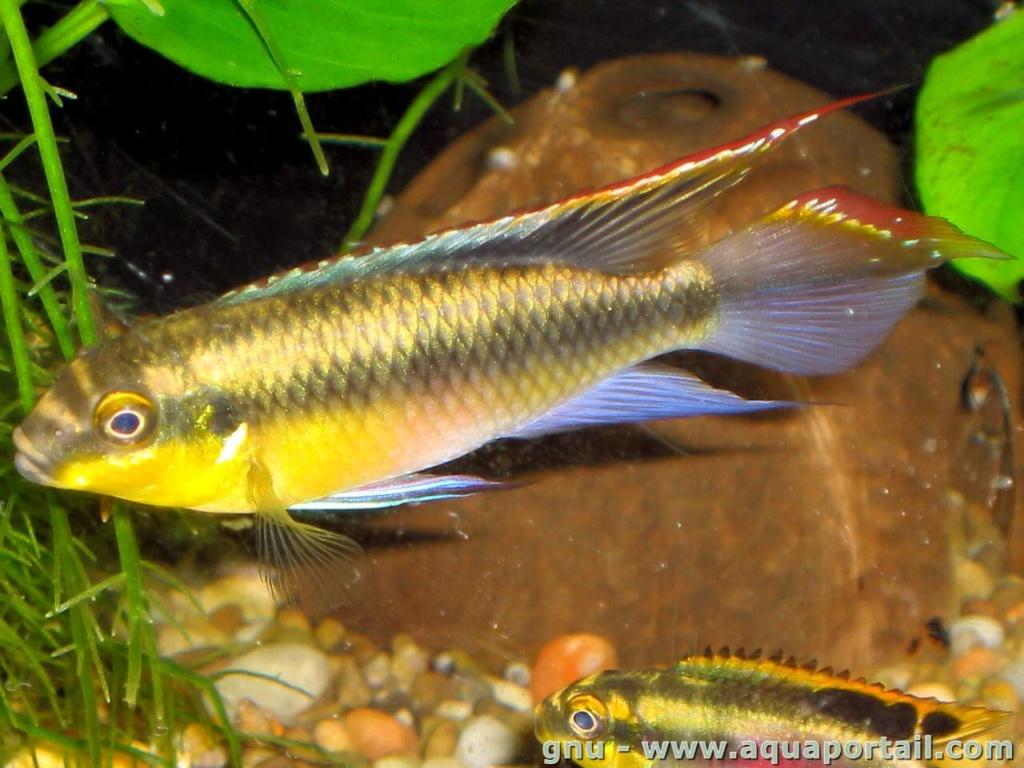 fishroom de 3000L focus sur les habitants Pelvic10