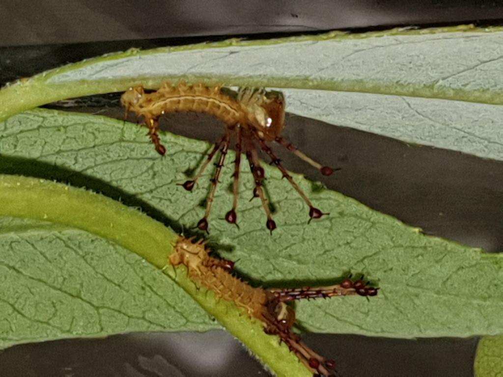 Sissphinx  molina  16186811