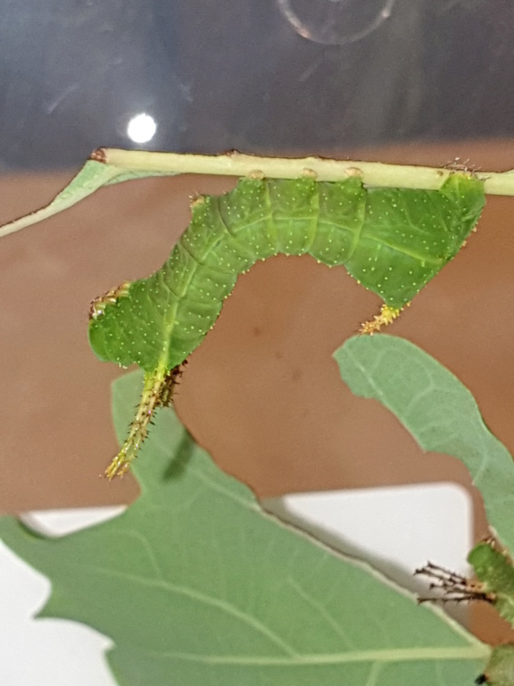 Sissphinx  molina  16198911