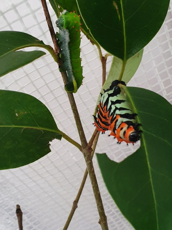 Rothschildia Erycina 20200312
