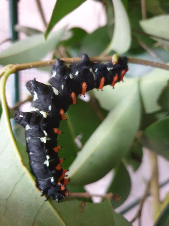 Rothschildia Erycina 20200313