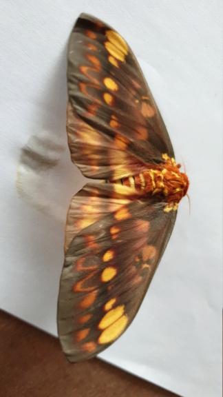 Citheronia  aroa.  Img-2019