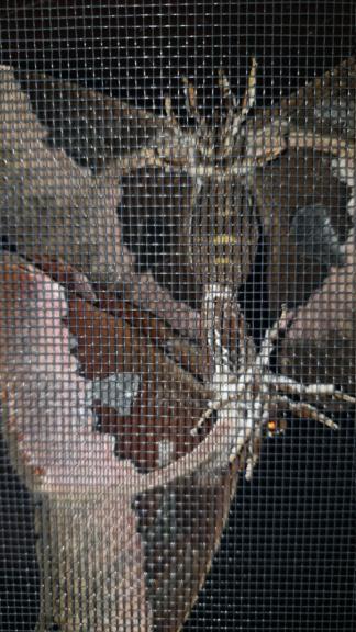 Rothschildia aurota   Img-2027