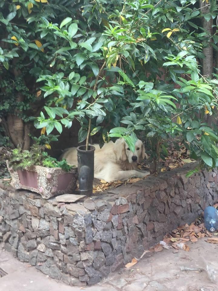 Jack (kuvasz macho) 2016 CABA (Ciudad autonoma de buenos Aires)  35634011
