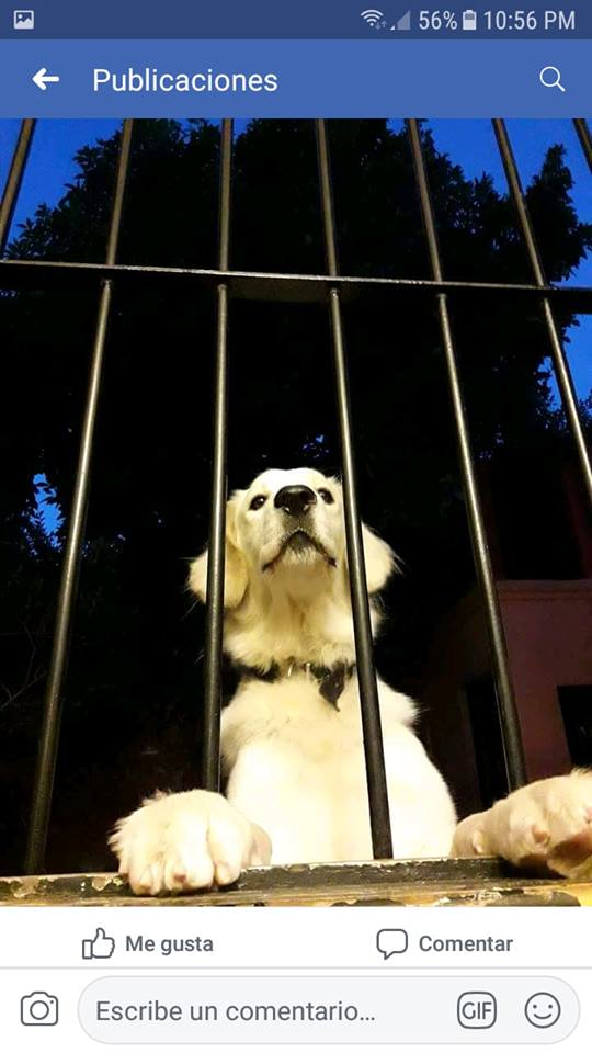 Jack (kuvasz macho) 2016 CABA (Ciudad autonoma de buenos Aires)  36456910
