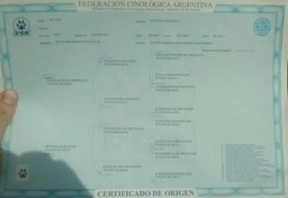 AUKA LIWEN  ( kuvasz hembra) ( LIWEN del  Pire Huilen FCA) 06/03/15 Lomas de Zamora- Buenos Airew 37068110