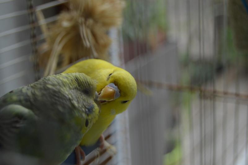 Quand on croit qu'une perruche peut vivre seule... Dsc_0227