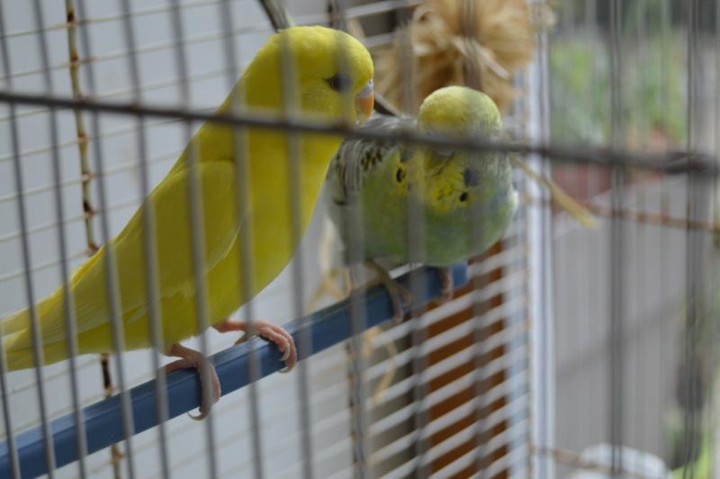 Quand on croit qu'une perruche peut vivre seule... Dsc_0325