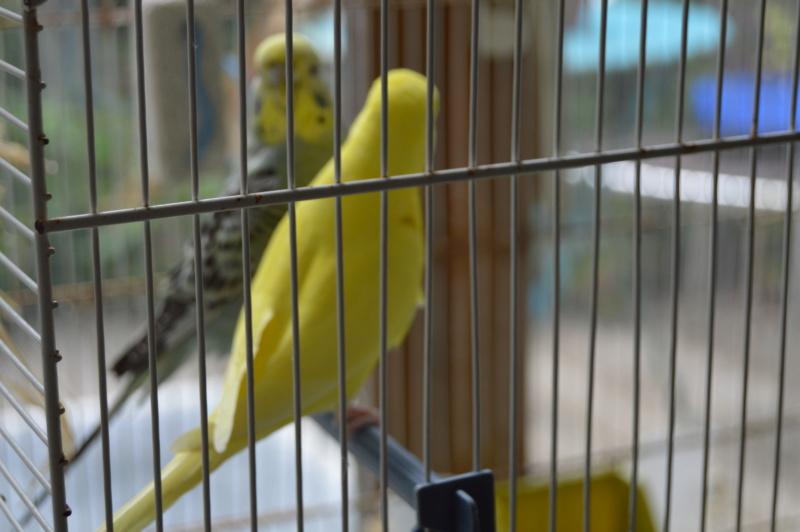 Quand on croit qu'une perruche peut vivre seule... Dsc_0326