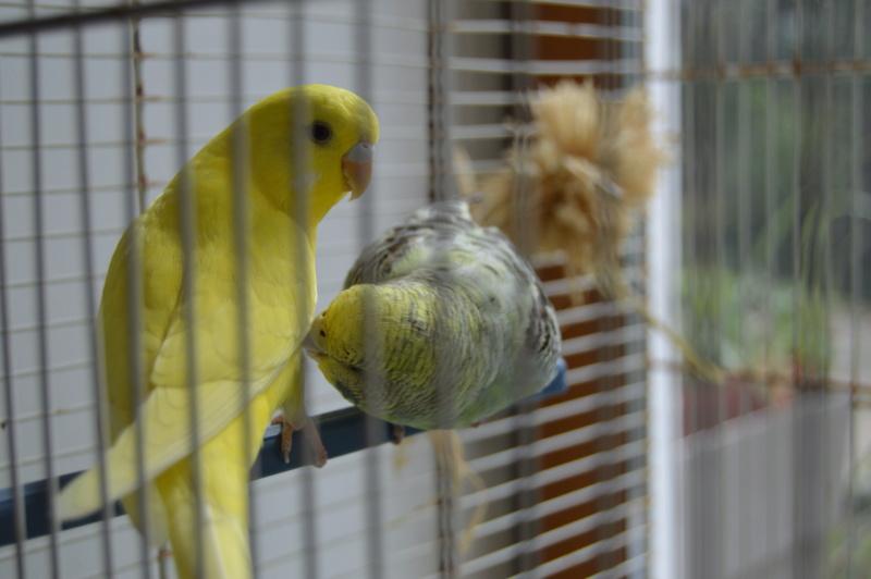 Quand on croit qu'une perruche peut vivre seule... Dsc_0328