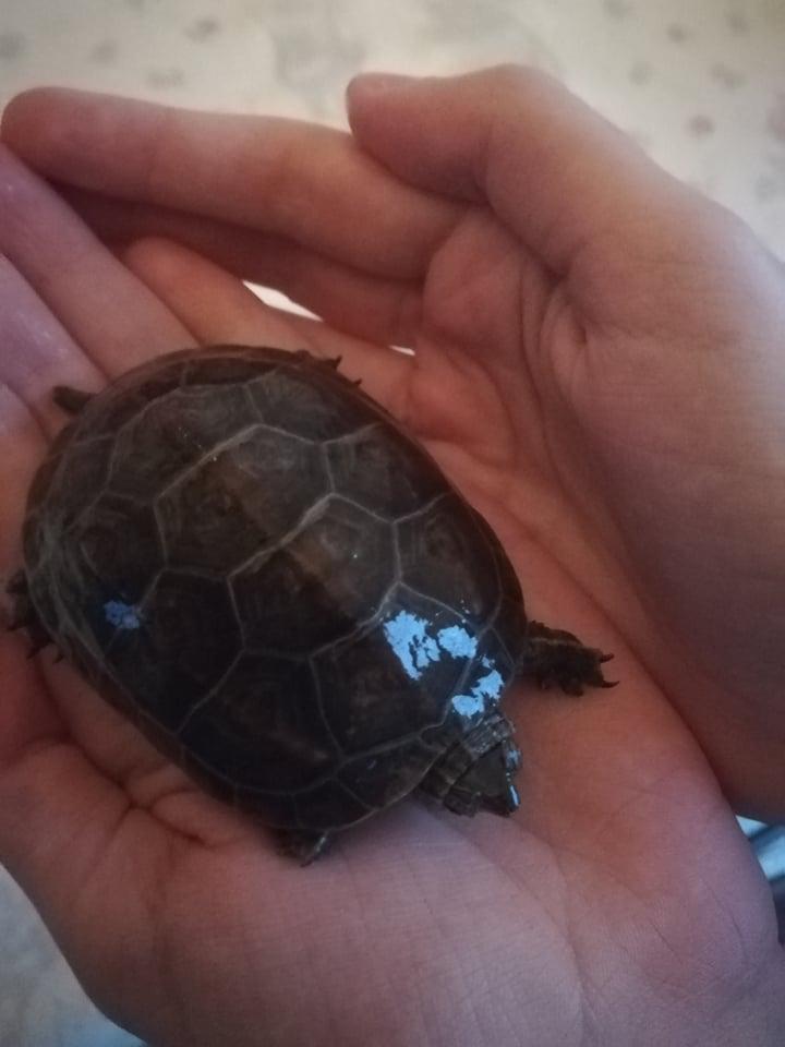 De quelle espèce sont mes deux tortues ? 49698510