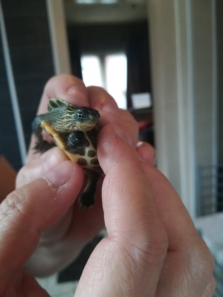De quelle espèce sont mes deux tortues ? 49721810