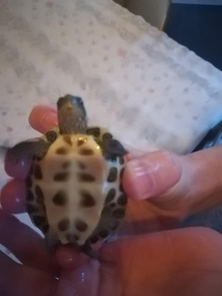 De quelle espèce sont mes deux tortues ? 49751010