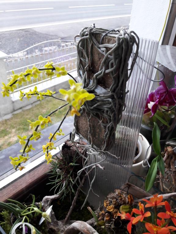 Bestimmung der gelbblühenden Orchidee 20190311