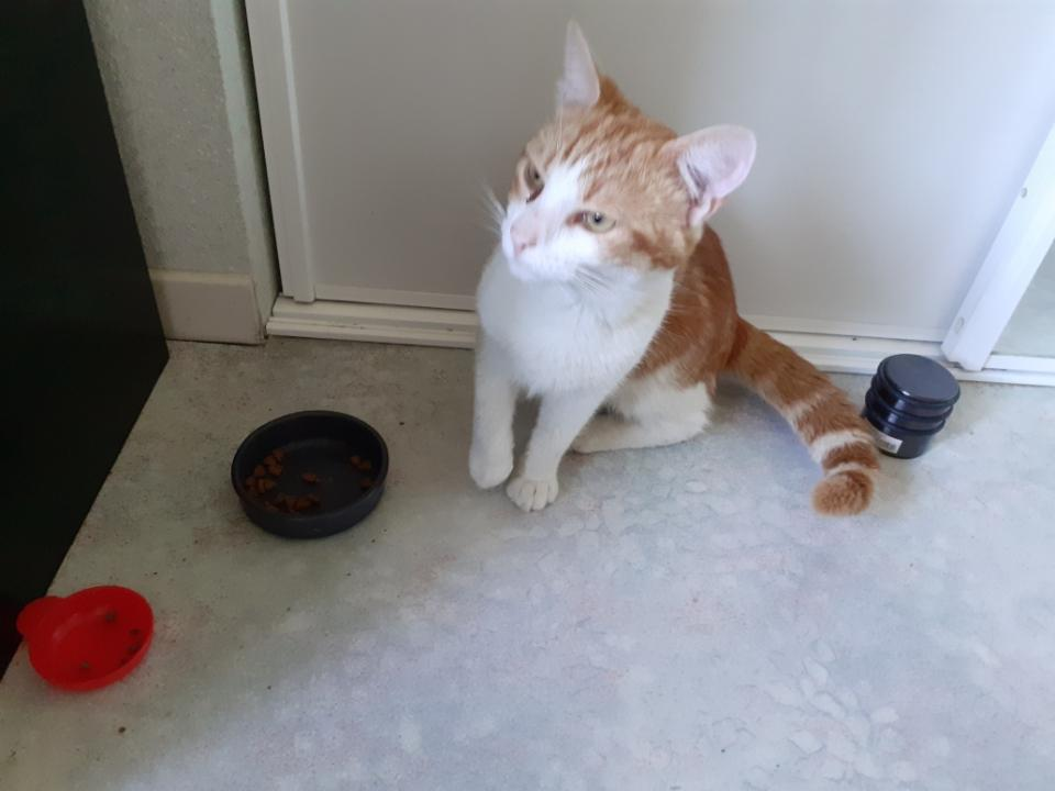 Trouvé chat roux et blanc à Tournefeuille -8377410