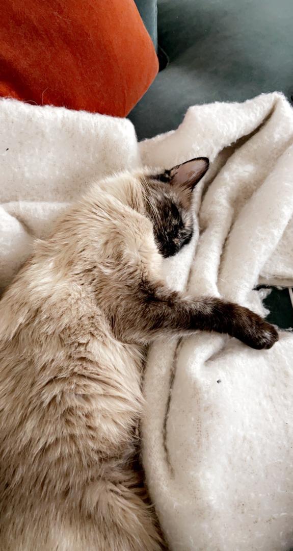 Perdue chatte siamoise - allée de la bresse 80766210