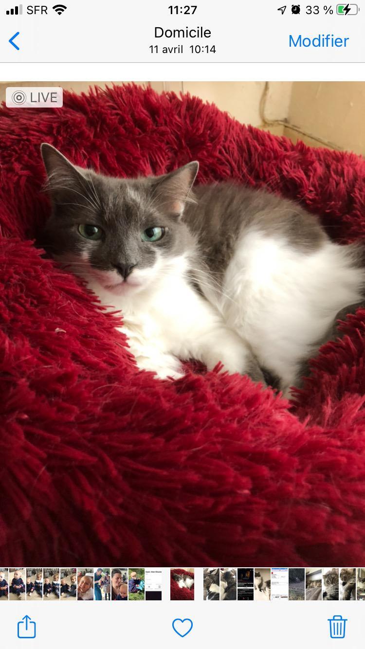 Perdu chat blanc et gris - quartier pelvoux Img-2286
