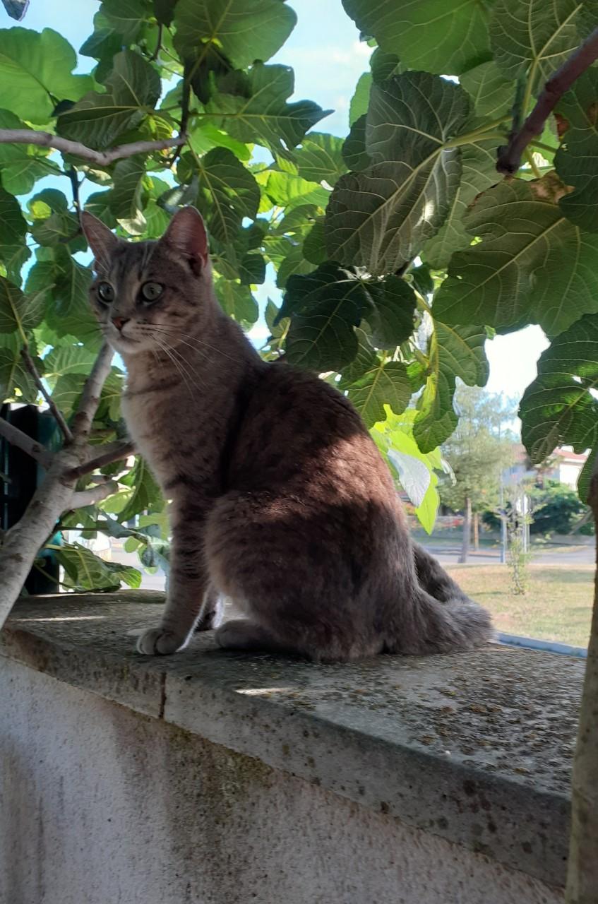 Trouvé chat gris tigré - allée Henriette Moriame à Colomiers Thumb610