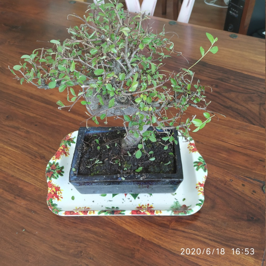 Me han regalado un bonsai olmo chino! 15924910