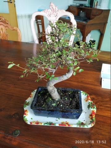 Me han regalado un bonsai olmo chino! Img_2010