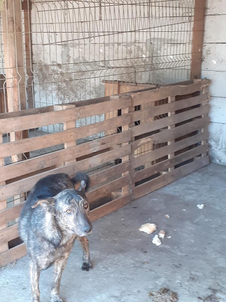 ARRY, mâle né en 2013, récupéré suite à l'avis d'expulsion du refuge de Radu- marrainé par Bouffy-R-SC-SOS 12138310