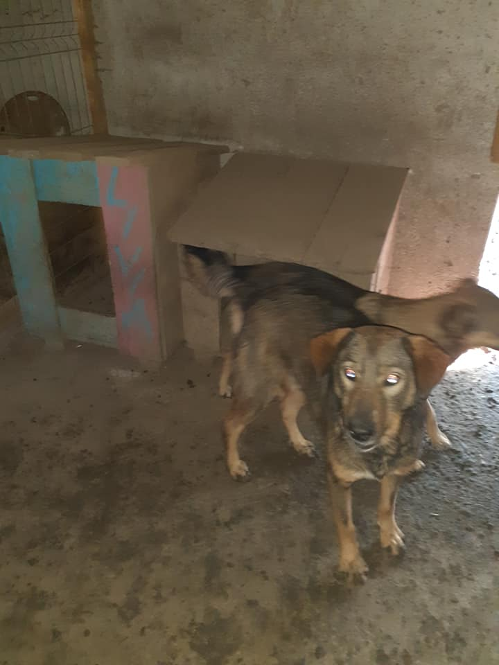 NAMI, croisé berger, soeur de Taliya et Ouzo, trouvée dans la rue en mai 2018- marrainée par Guyenne -R- - Page 2 12146310
