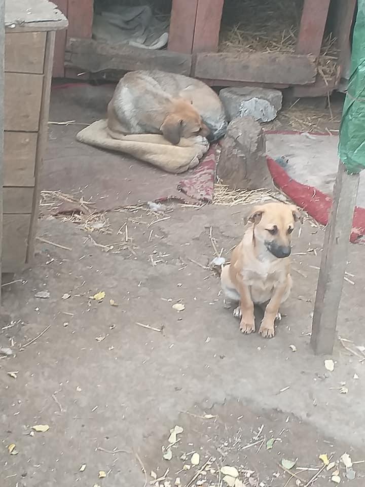 Manisha - MANISHA née en 2018 - maman et ses 3 chiots sauvés de Mihailesti le 20/08/2020 - parrrainée par Coco65-R-SC-SOS 12277110