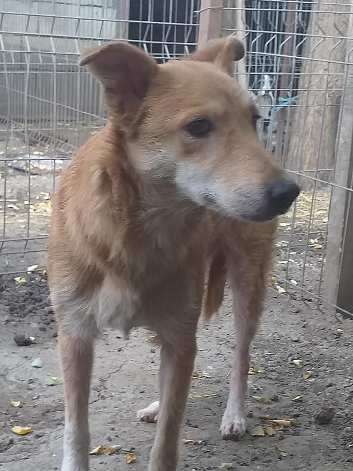 INAYA, femelle berger née en 2014 sauvée de l'equarrissage pour Noel - marrainé par Réglisse -  12280311