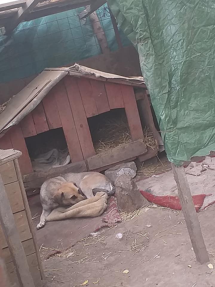 Manisha - MANISHA née en 2018 - maman et ses 3 chiots sauvés de Mihailesti le 20/08/2020 - parrrainée par Coco65-R-SC-SOS 12288711