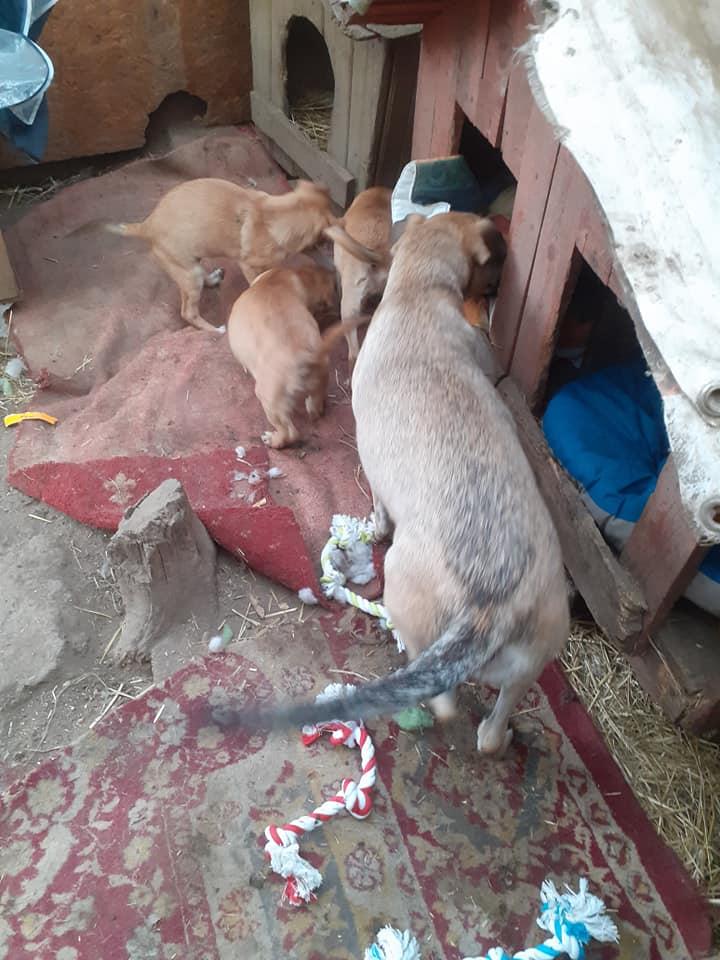 Manisha - MANISHA née en 2018 - maman et ses 3 chiots sauvés de Mihailesti le 20/08/2020 - parrrainée par Coco65-R-SC-SOS 12372610