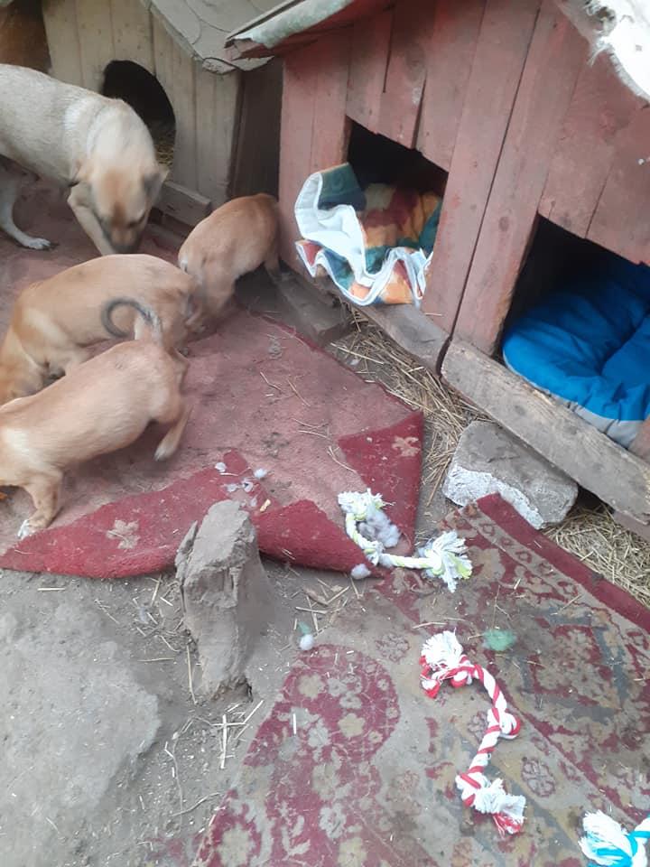 Manisha - MANISHA née en 2018 - maman et ses 3 chiots sauvés de Mihailesti le 20/08/2020 - parrrainée par Coco65-R-SC-SOS 12390710