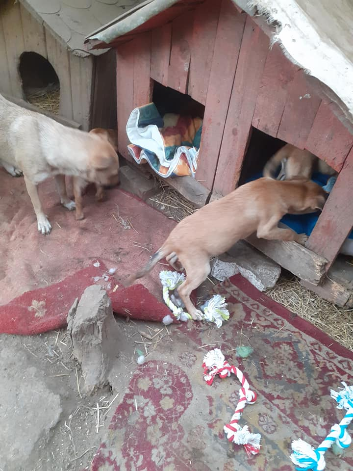 Manisha - MANISHA née en 2018 - maman et ses 3 chiots sauvés de Mihailesti le 20/08/2020 - parrrainée par Coco65-R-SC-SOS 12395310