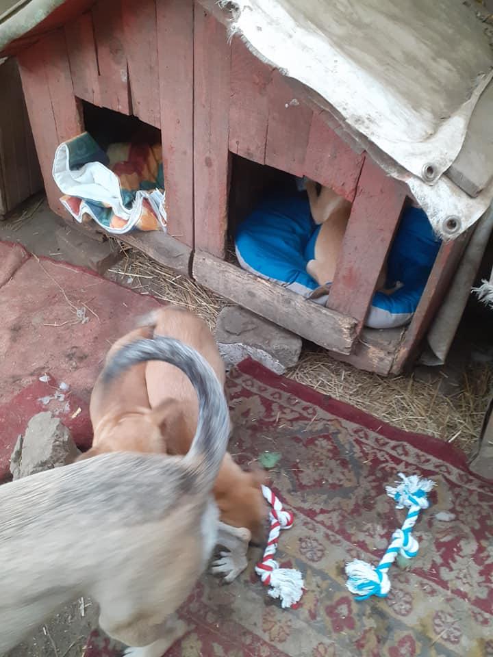 Manisha - MANISHA née en 2018 - maman et ses 3 chiots sauvés de Mihailesti le 20/08/2020 - parrrainée par Coco65-R-SC-SOS 12397710