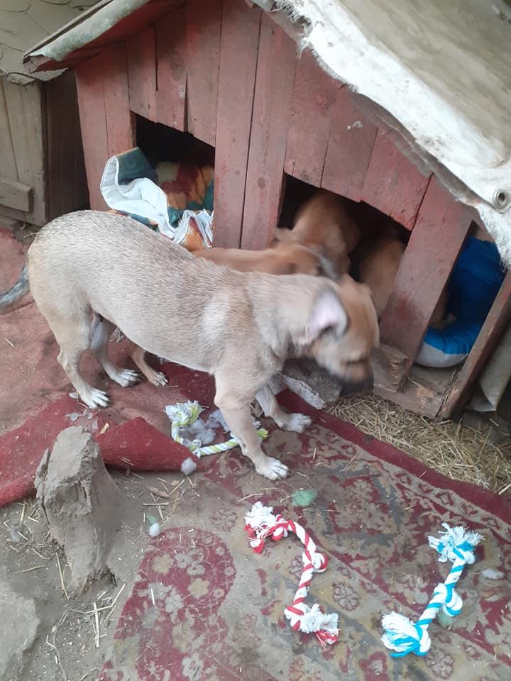 Manisha - MANISHA née en 2018 - maman et ses 3 chiots sauvés de Mihailesti le 20/08/2020 - parrrainée par Coco65-R-SC-SOS 12400210